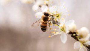 Biene gelandet auf Zweig mit weißen Blüten